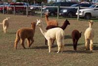 eastland-alpacas-Store